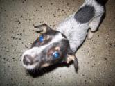 mongrel pup